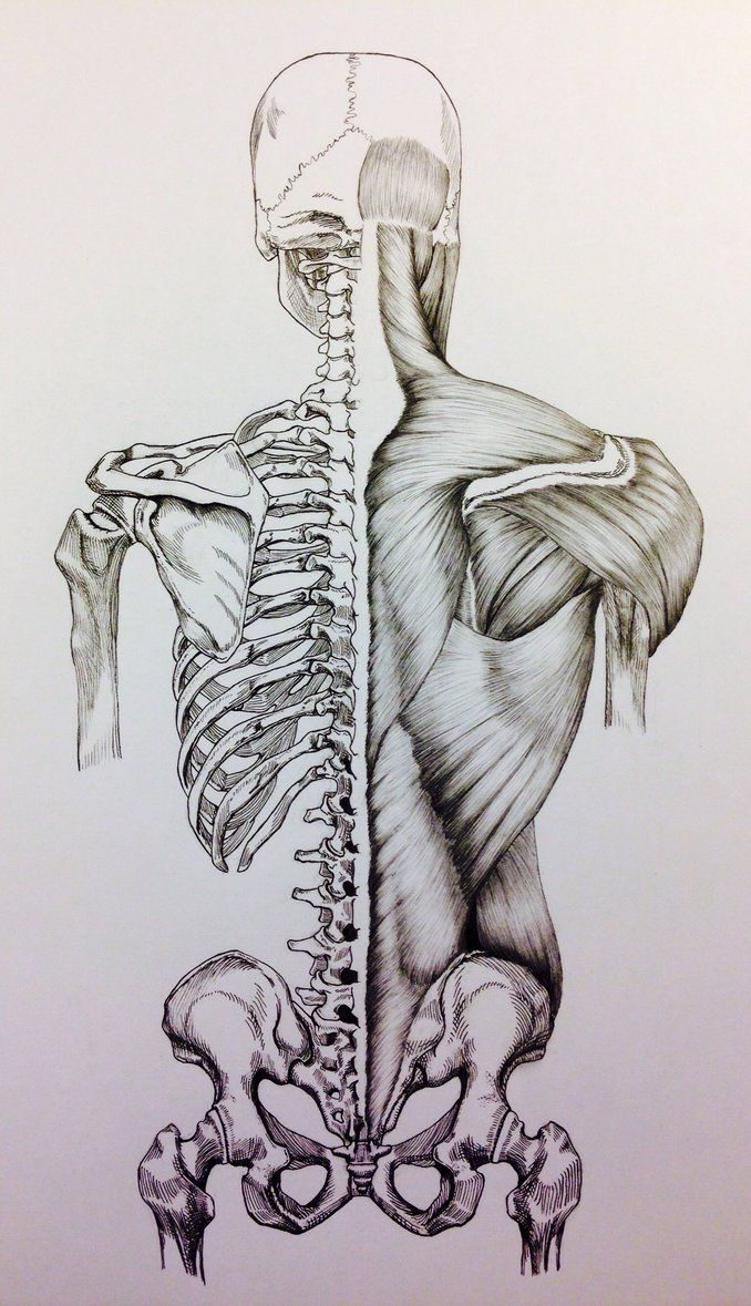 678x1179 Skull To Pelvis Back Bonesmuscles By Billydoubleu Anatomy