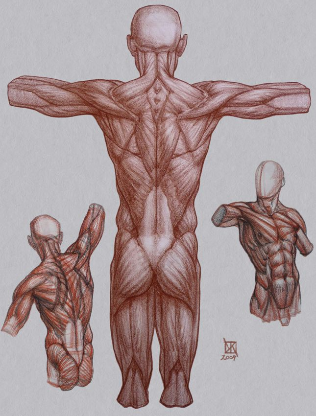 Human Muscles Drawing At Getdrawings Free For Personal Use