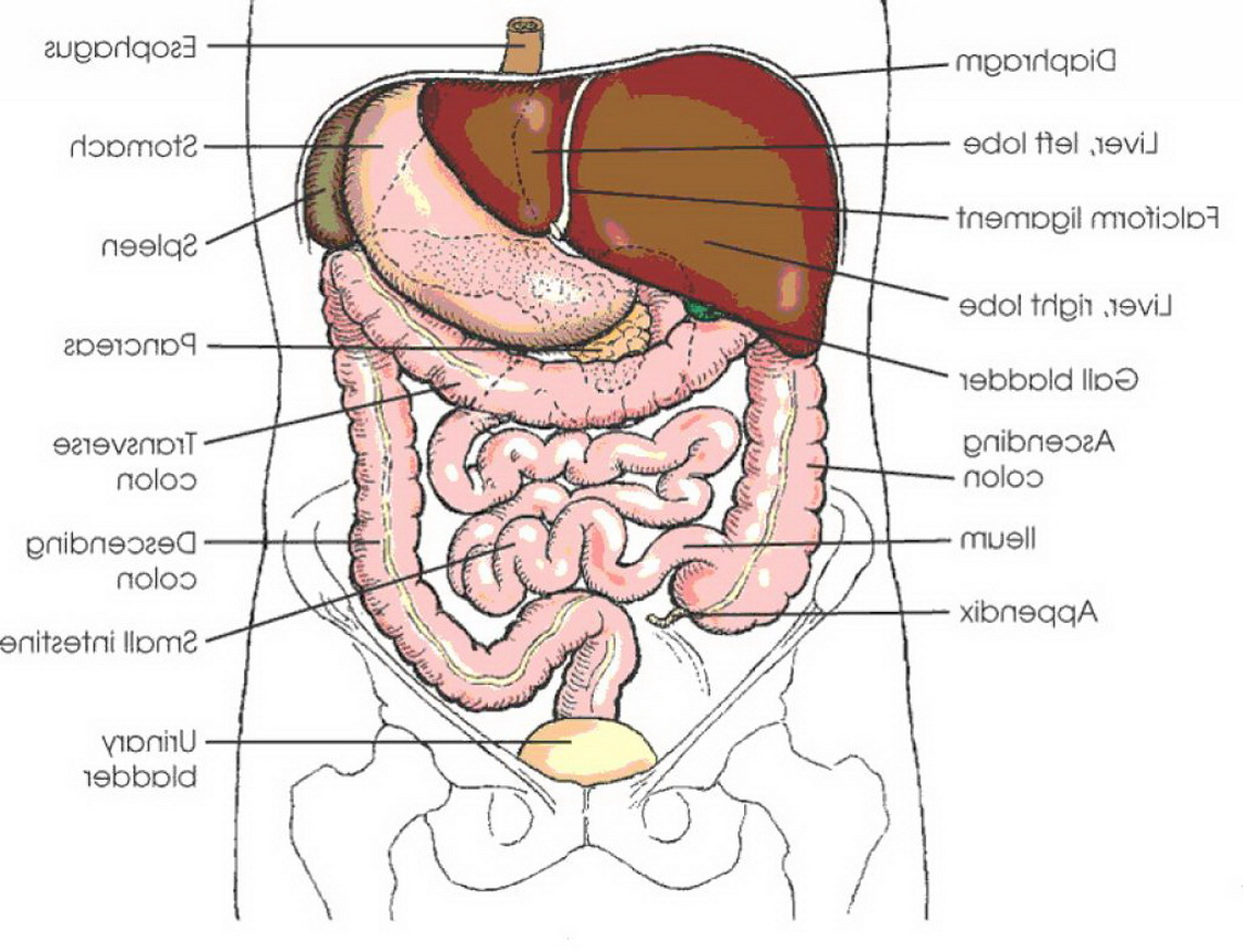 Human Organs Drawing at GetDrawings.com | Free for personal use ...
