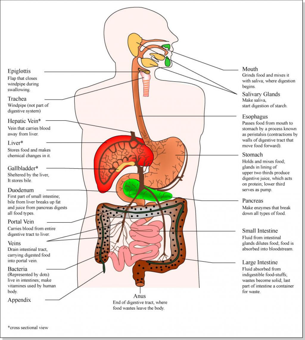 Human Organ Systems Diagram Liver - DIY Enthusiasts Wiring Diagrams •