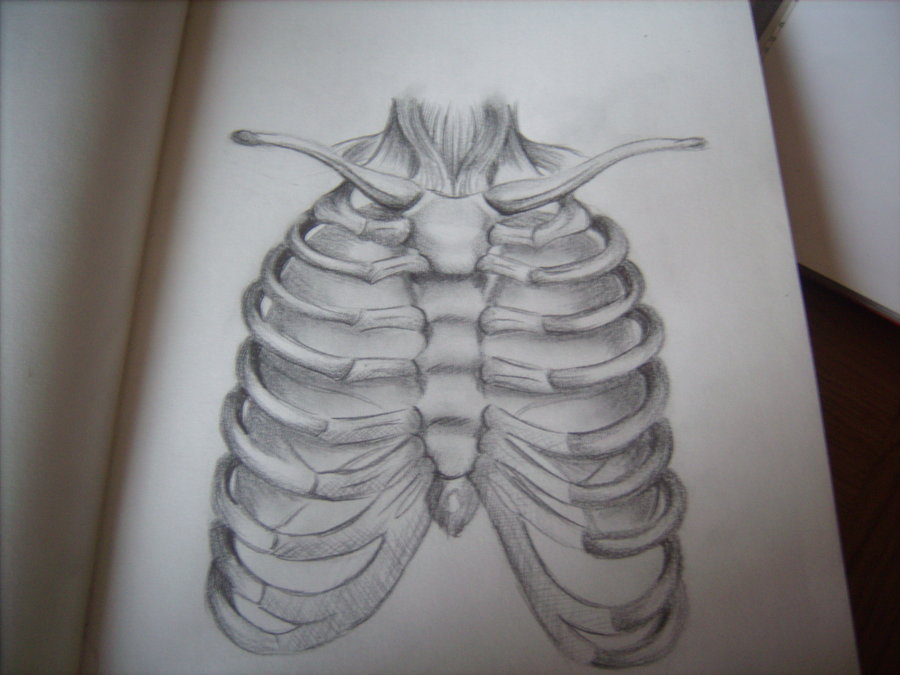 900x675 Sketchbook Rib Cage And Lungs By Amylouisezombie
