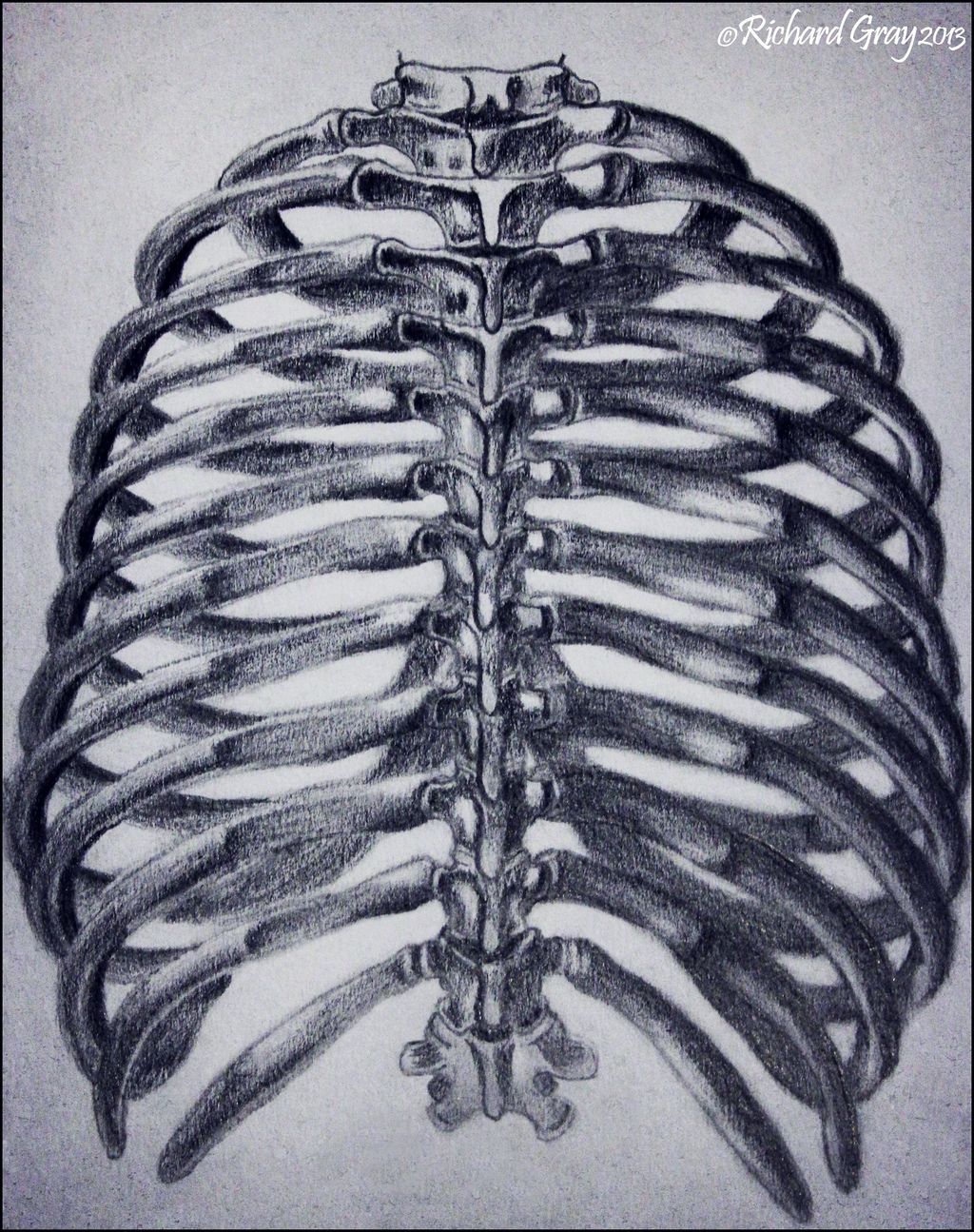 1024x1295 The Human Ribcage By Ricgraydesign