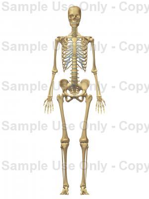 300x400 Anterior Female Skeleton