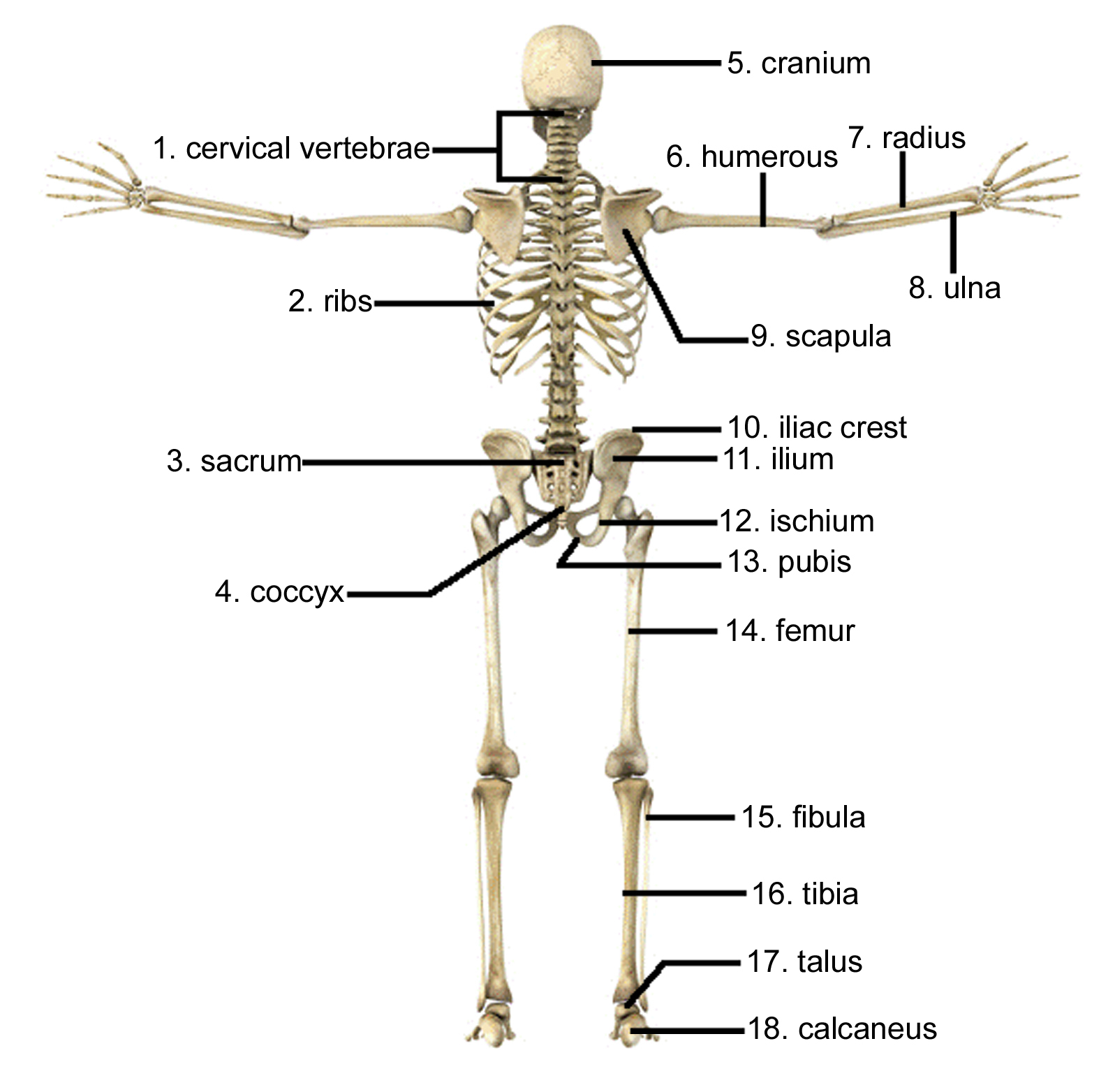 Human skeletal system drawing at getdrawings free for personal 1597x1564 draw and label the human skeleton system pictures skeleton arm ccuart Image collections
