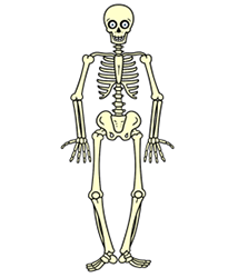 Human Skeletal System Drawing At Getdrawingscom Free For Personal
