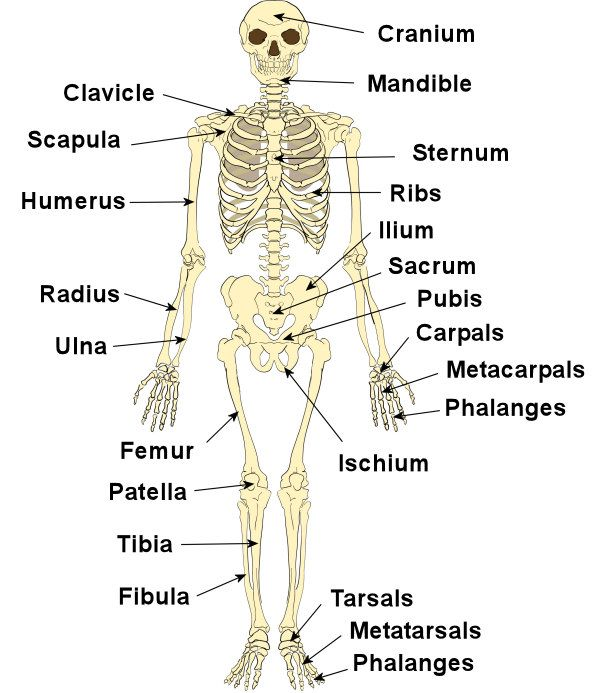 600x693 Human Body Skeletal System Bones Of The Human Body Scapula Human
