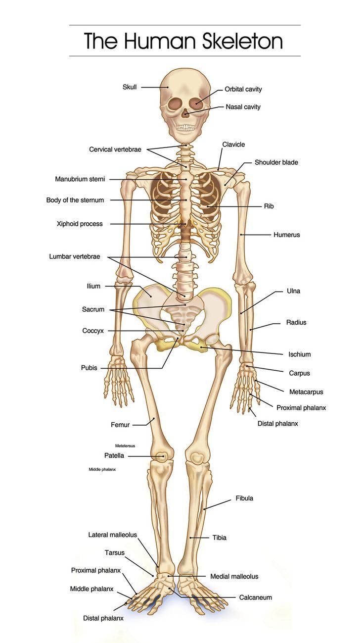 736x1299 Image Result For Human Skeleton Skeleton Project