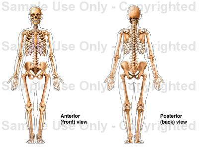 Human skeletal system drawing at getdrawings free for personal 400x300 skeletal system female ccuart Gallery