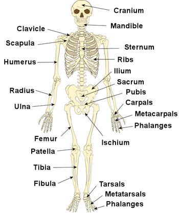 350x417 The Human Skeleton The Skeleton Amp Bones Anatomy Amp Physiology