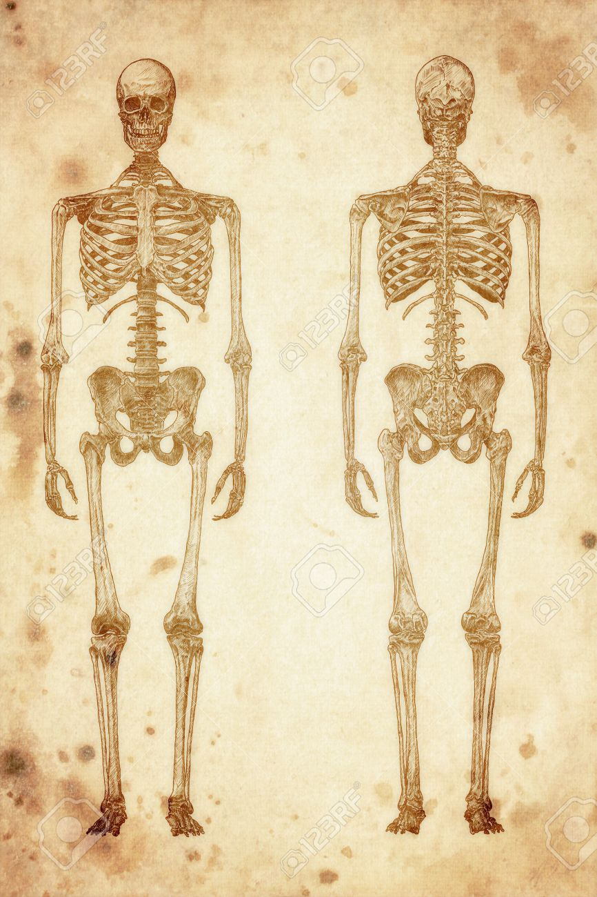 866x1300 Cursory Drawing Human Skeleton On Old Paper Background Stock Photo