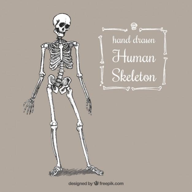 626x626 Hand Drawn Human Skeleton Vector Free Download