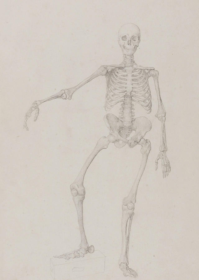 640x900 Human Skeleton, Anterior View Drawing By George Stubbs