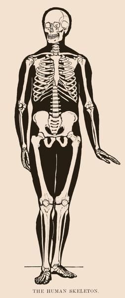 252x600 Human Skeleton Drawing
