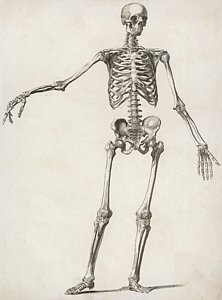 222x300 Human Skeleton Drawings Fine Art America