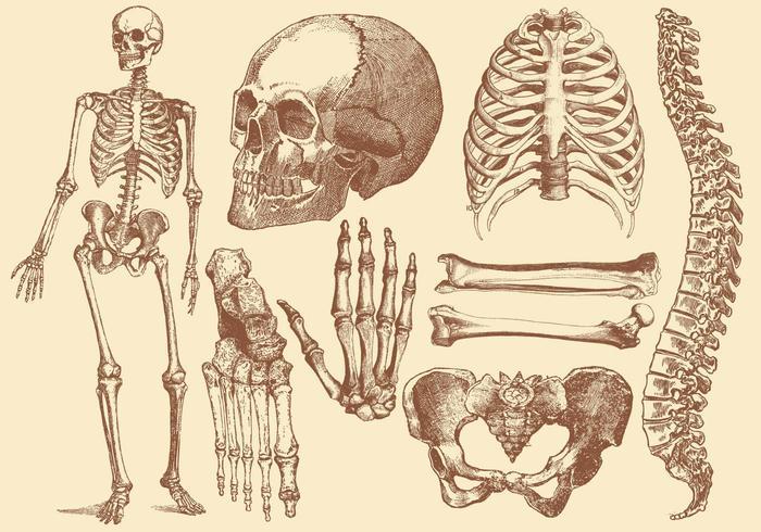700x490 Old Style Drawing Human Bones