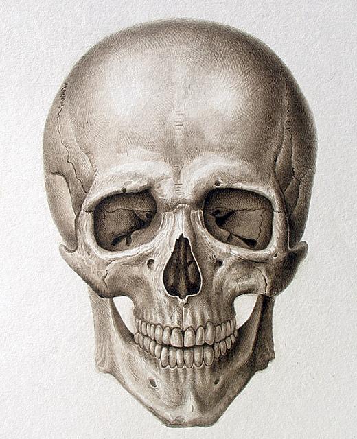 520x640 Human Cranium (Frontal View) 2008 Human Skull, Skull Anatomy