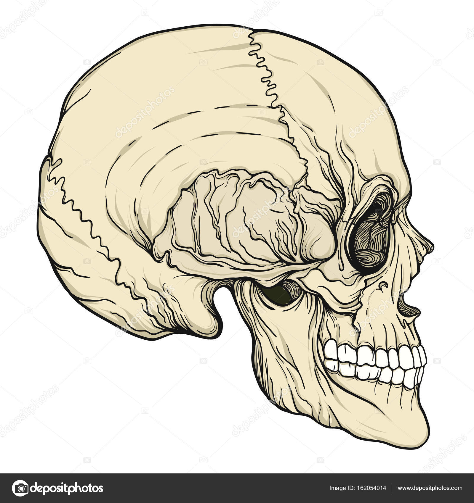 1600x1700 Human Skull Realistic Hand Drawing Isolated Stock Vector