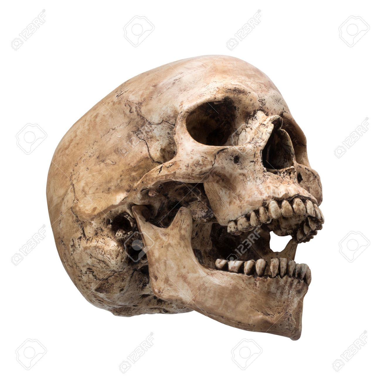 1300x1299 28216320 Sideview Of Human Skull Open Mouth On Isolated White