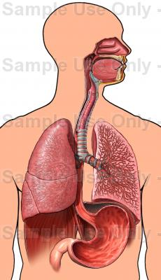 230x400 Male Torso With Respiratory System And Stomach, Anterior View