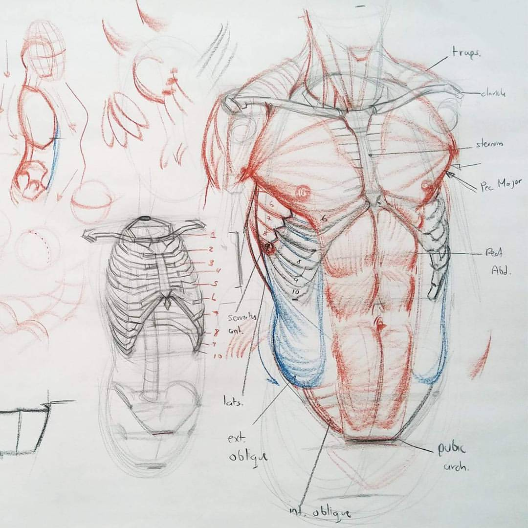 Human Torso Drawing At Getdrawings Free For Personal Use Human