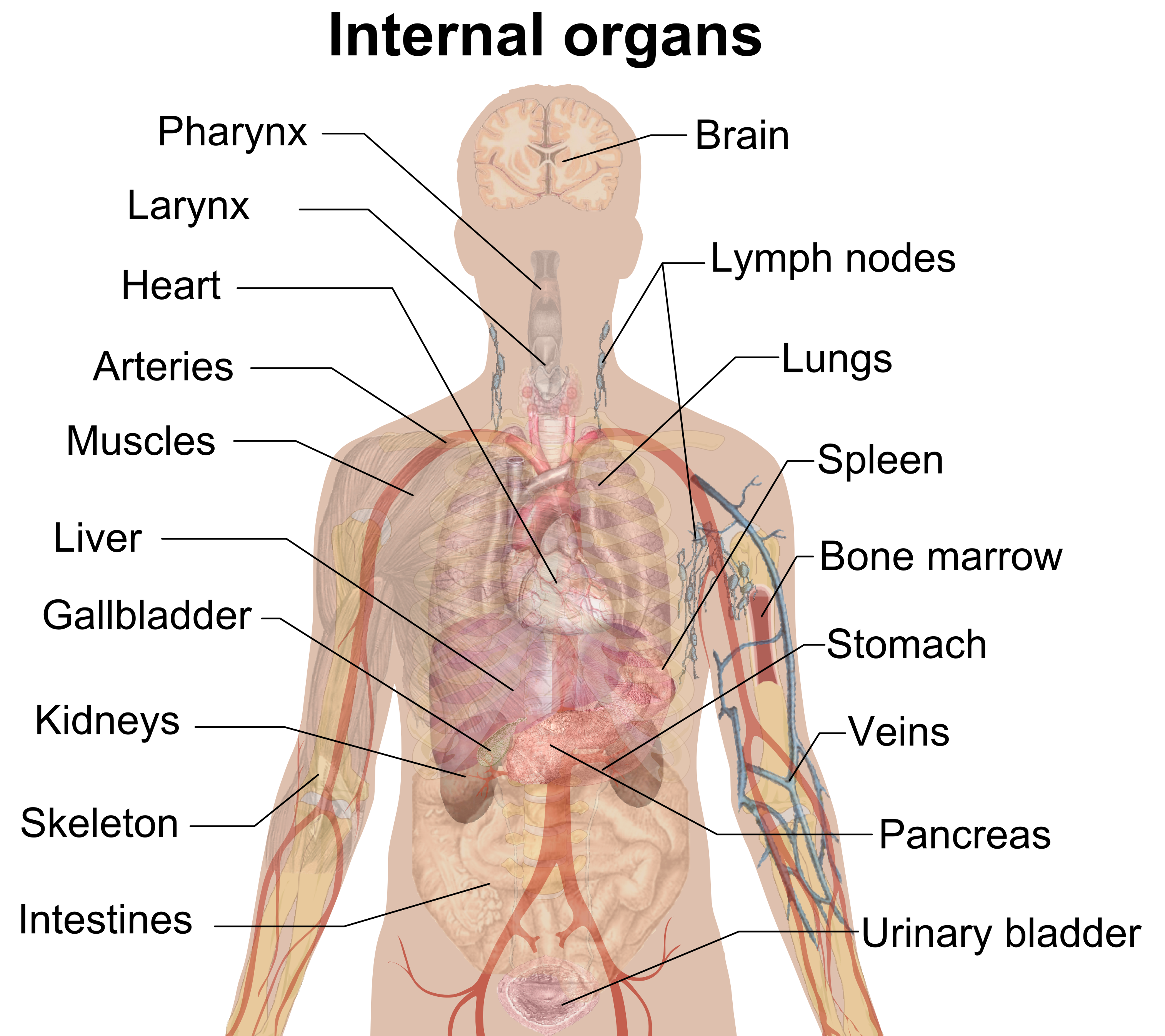 3029x2693 Anatomy Organ Pictures Latest Collection Human Body Anatomy