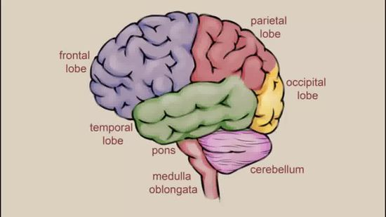 550x309 Gallery Drawing Of Human Brain,