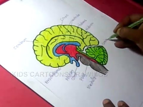 480x360 How To Draw Human Brain Anatomy Drawing For Kids
