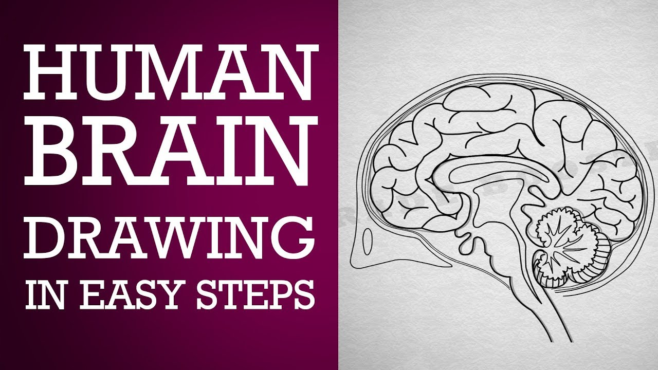 1280x720 How To Draw Human Brain In Easy Steps Control And Coordination