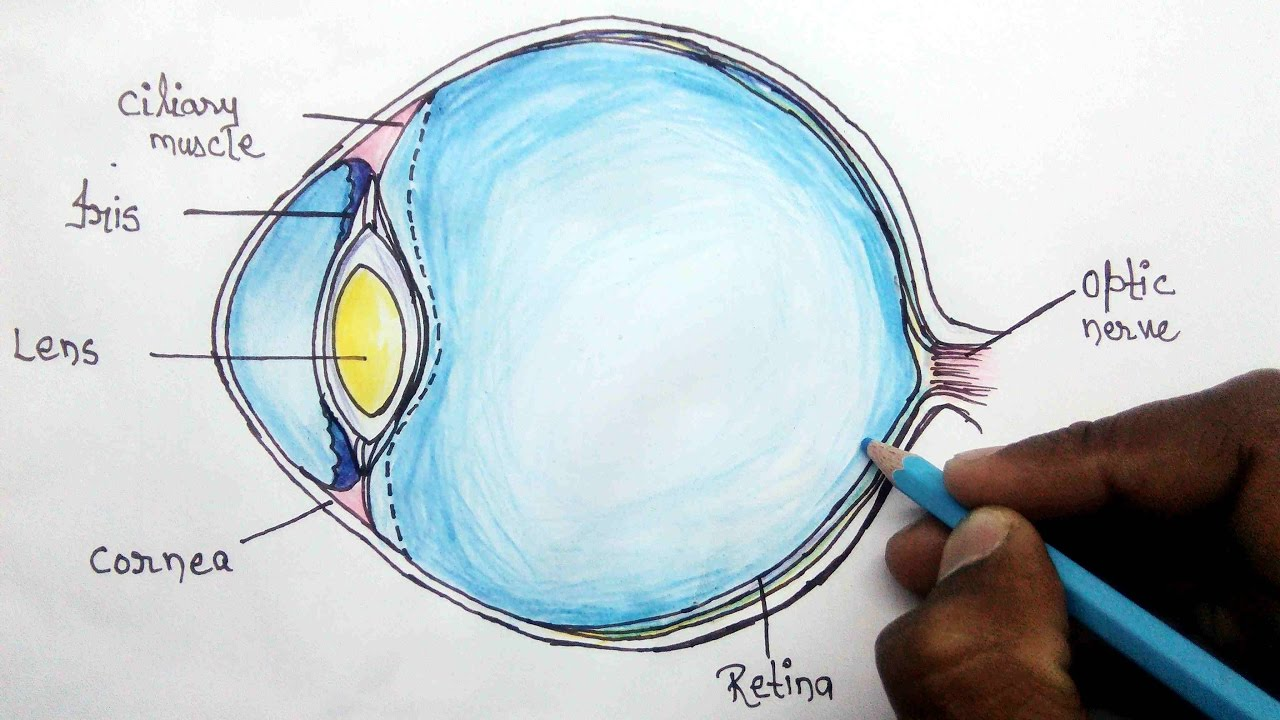 1280x720 How To Structure Of Human Eye Step By Step For Beginners
