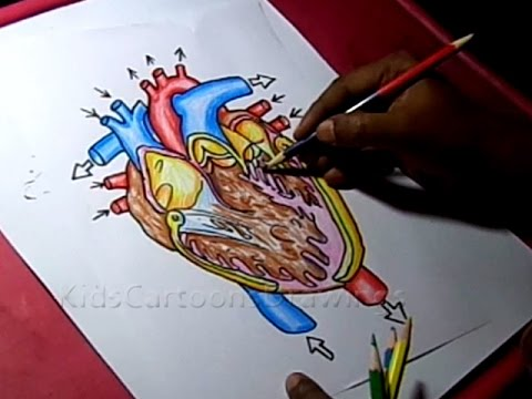 480x360 How To Draw Human Heart Inside Anatomy Drawing For Kids