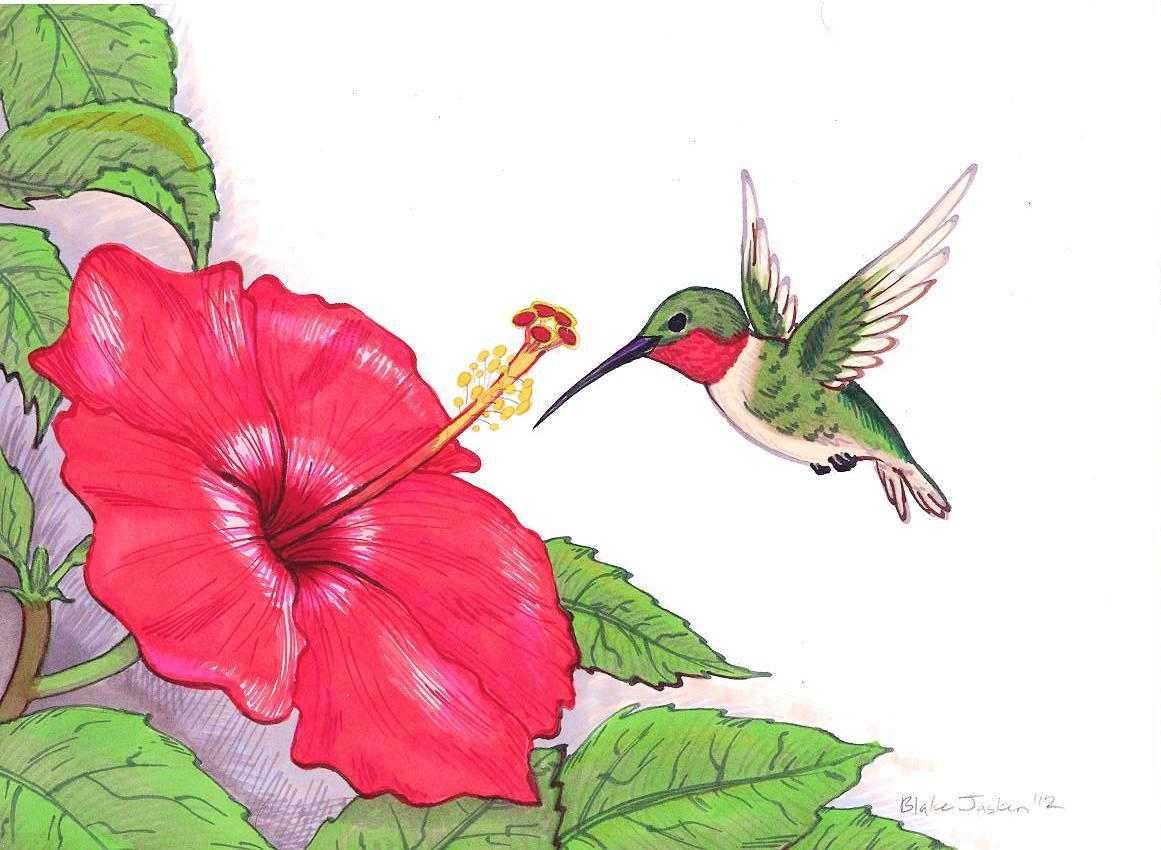 1161x850 Hummingbird And Flower Drawing