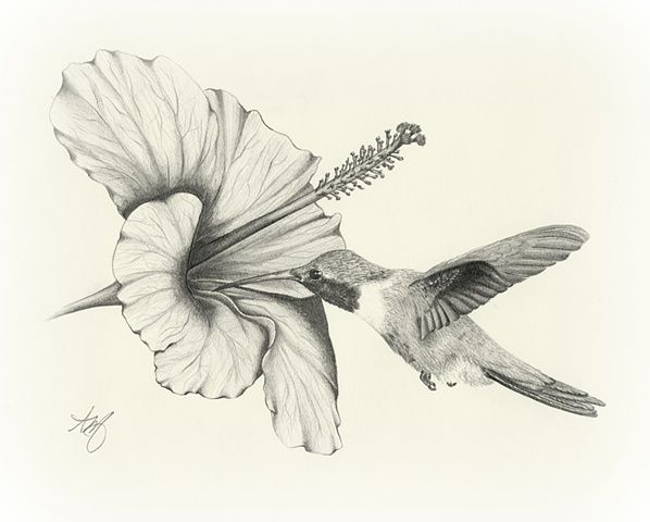 598x480 Black and white images of hummingbirds Sketches