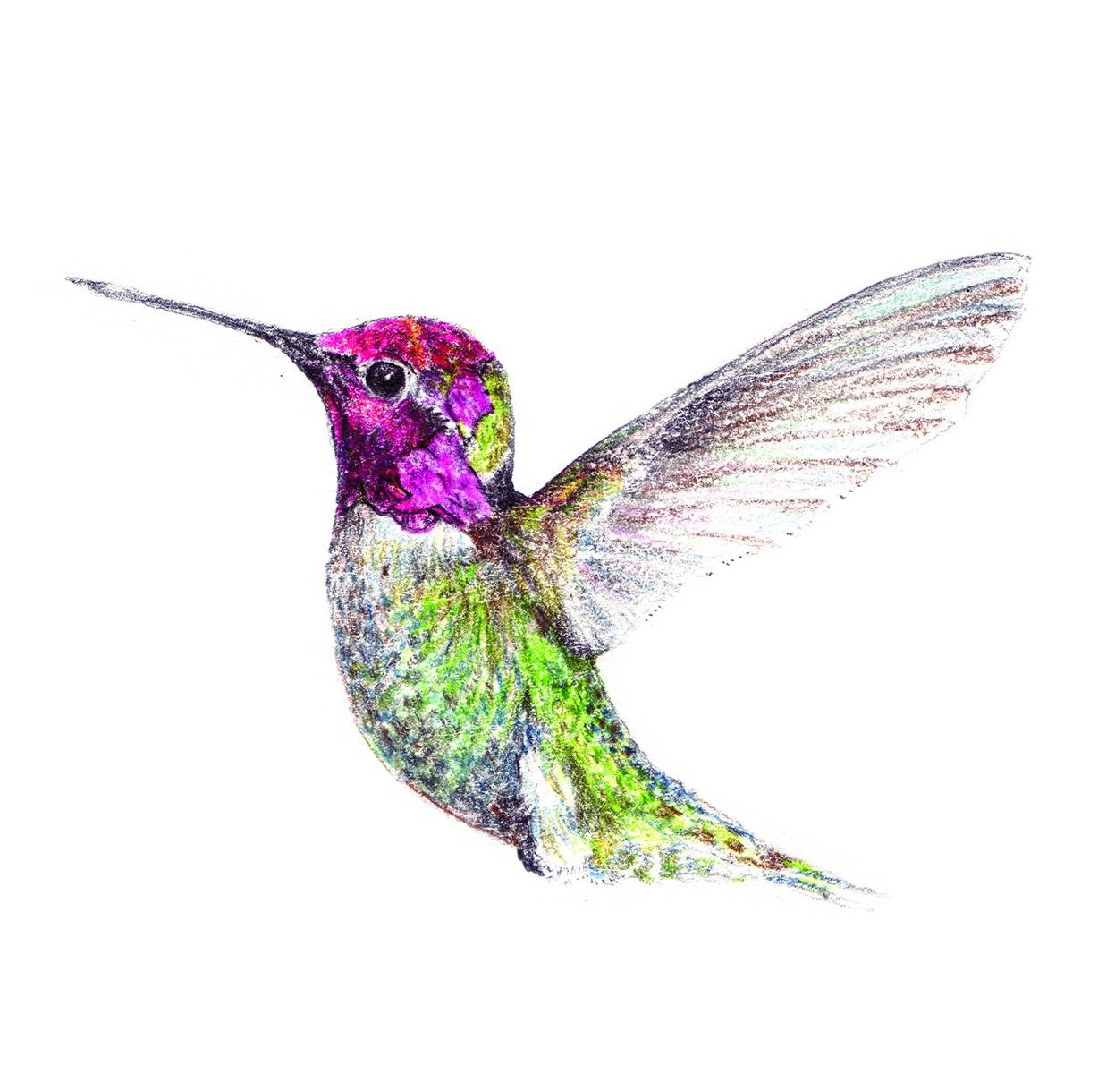 1228x1220 Hummingbird Color Draw Hummingbird Drawings Hummingbird Drawing