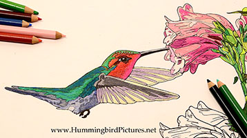 358x200 Hummingbird Coloring Pages