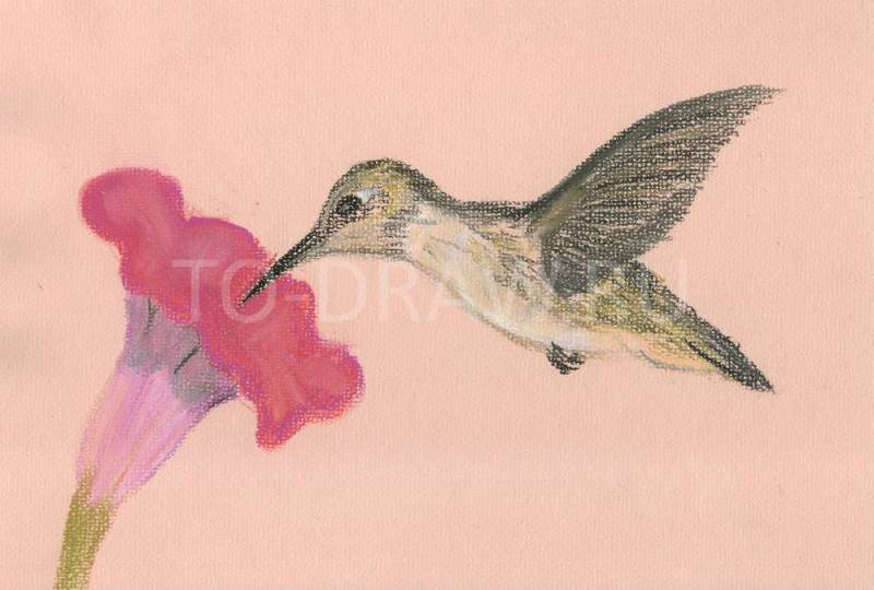 800x540 How To Draw Hummingbirds Pastel Pencils In Stages