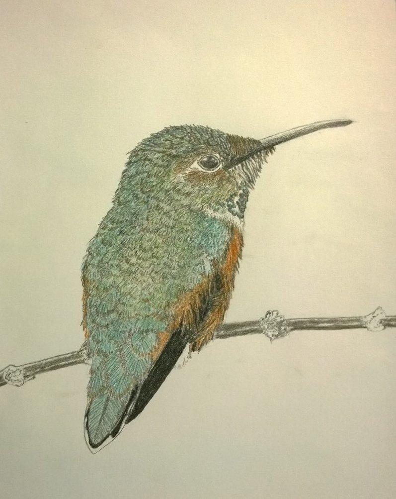 797x1003 Allen's Hummingbird (Colored Pencil Sketch) By Gerhard Von Liebau