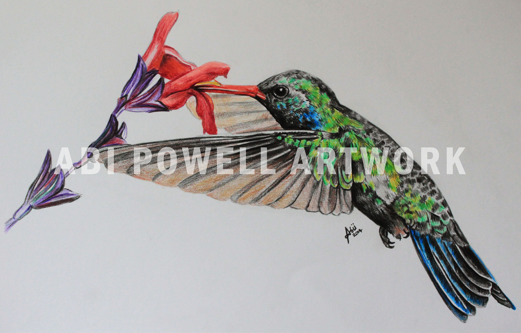1024x655 Coloured Pencil Drawing, Hummingbird 8.1.14 Coloured