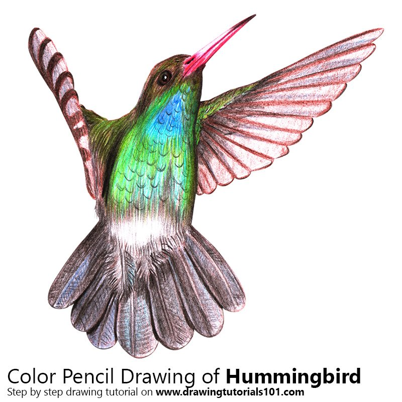 800x800 hummingbird colored pencils