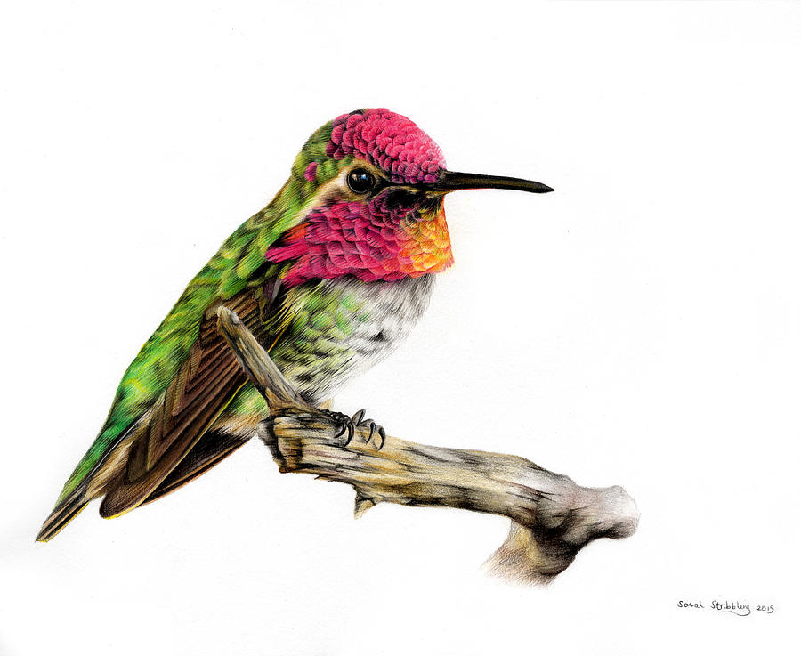 900x737 hummingbird colour pencil drawing painting by sarah stribbling