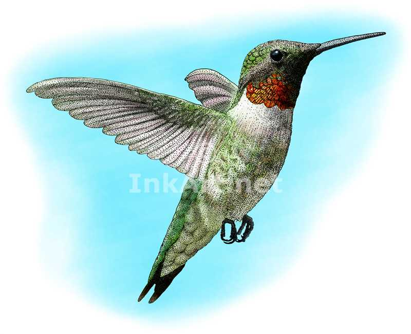800x650 Ruby Throated Hummingbird Stock Art Illustration