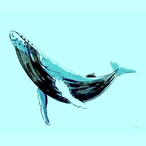 500x500 How To Draw A Humpback Whale