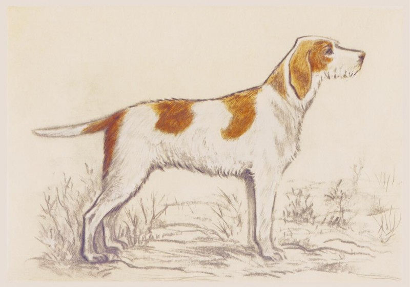 800x560 Hunting Dog Drawing By Andres Collot (Griffon) A Wholesale Canvas