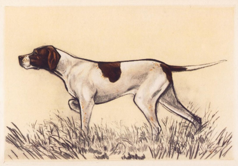 800x560 Hunting Dog Drawing By Andres Collot B (Pointer) Wholesale Canvas
