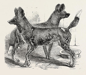 300x264 Hunting Dogs Drawings