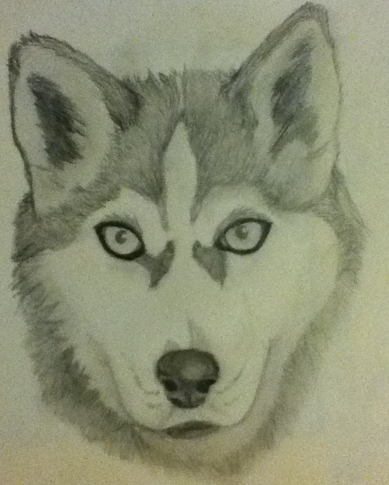 husky drawing at getdrawings com free for personal use husky