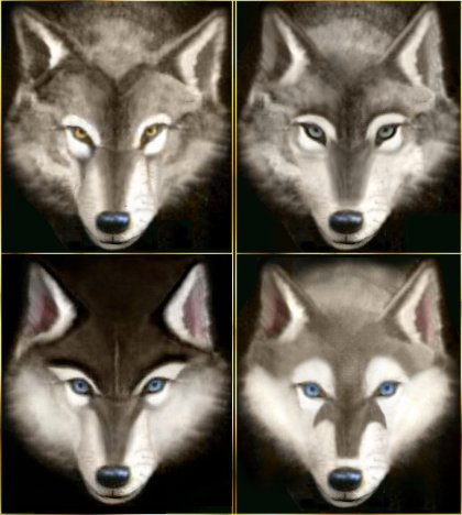 420x468 Wolves And Huskies