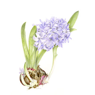 320x320 Brenda Green Botanical Drawings Gallery