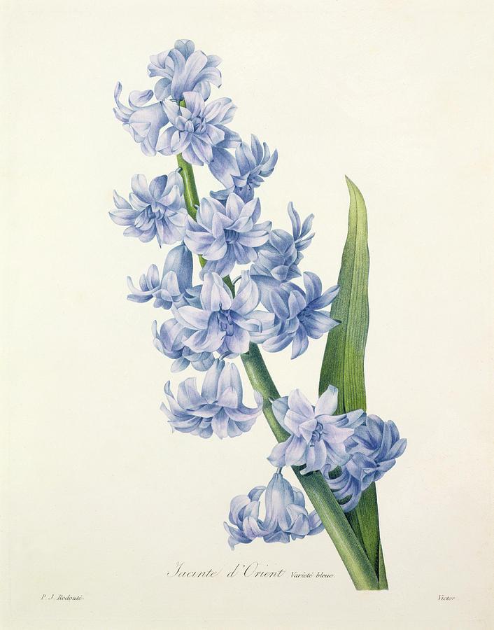 706x900 Hyacinth Drawing By Pierre Joseph Redoute