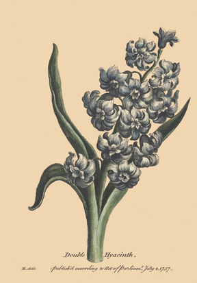 288x413 Hyacinth Flower