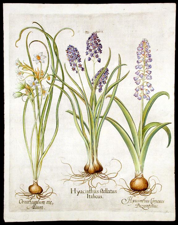 576x728 Italian Squill Hyacinthus Stellatus Italicus Belleval's Hyacinth